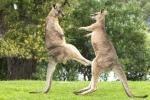 Clip 2 con kangaroo đại chiến như võ sỹ hút 4 triệu lượt xem