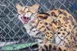 Cận cảnh mèo rừng quý hiếm có bộ lông báo gấm vừa xuất hiện ở Hà Tĩnh