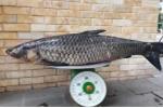 Cận cảnh cá trắm đen 'khổng lồ' được cần thủ Hà Nội câu lên bờ