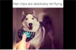 Phì cười clip chó Husky 'hồn vía bay lên mây' khi nhìn thấy... kẹp tóc