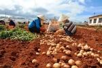 Lâm Đồng làm tem chống hàng giả cho khoai tây