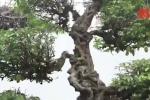 Video: Cặp khế cổ hơn 400 năm tuổi của vua Gia Long