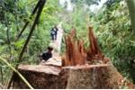Để lâm tặc 'thảm sát' rừng Quảng Nam, 6 cán bộ kiểm lâm bị đình chỉ công tác