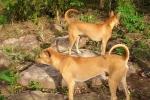 Vì sao chó Phú Quốc có giá hàng trăm triệu đồng?