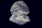 Phát hiện sinh vật kỳ dị có đầu mà không có thân