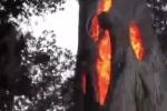 Kỳ quái thân cây bốc cháy ngùn ngụt từ bên trong