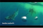 Chuyện thật như đùa: Cá mập xé xác... một con bò giữa đại dương