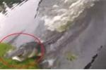 Clip: Cá sấu phóng vọt khỏi mặt nước, trắng trợn cướp cá của cần thủ