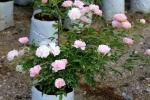 Chiêm ngưỡng hàng ngàn cây hoa hồng của nữ đại gia nơi 'đất vàng' Hồ Tây