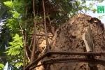 Hà Nội chuyển trả dân 5,3 tỷ đồng tiền bán một nhánh cây sưa trăm tuổi