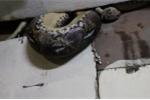 Trăn khổng lồ ăn thịt kỳ đà trên trần nhà dân ở Thái Lan