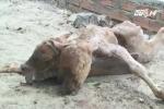 Bò đẻ ra bê 2 đầu ở Bình Định