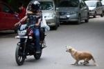 Những tai nạn thảm khốc do chó chạy rông ngoài đường