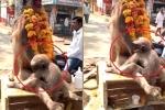Rơi nước mắt nhìn khỉ con đau đớn ôm xác mẹ qua đời vì điện giật