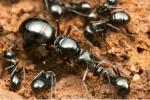 Giới trẻ đua nhau nuôi kiến chúa đang mang thai để giải khuây
