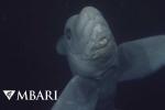Clip: Quay được cá mập ma kỳ dị dưới đáy đại dương