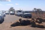 Xẻ thịt trâu rừng giữa đường, đàn sư tử gây ùn tắc suốt 6 tiếng