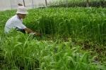 Công nghệ trồng rau muống 'siêu tốc', biết rồi còn ăn?