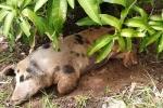 Bi hài chuyện xã phải nuôi lợn 5 móng bị bỏ rơi