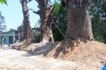 3 cây đa 'khủng' được trồng tạm ở Huế: Chính quyền địa phương nói gì?