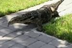 Video: Thằn lằn khổng lồ, to như cá sấu làm náo loạn thị trấn ở Mỹ