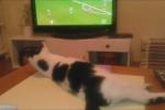 Video: Chú mèo mê bóng đá nhất quả đất