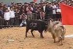 Độc đáo lễ hội chọi dê trên cao nguyên đá Hà Giang