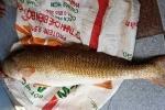 Ngư dân liên tục câu được cá sủ vàng giá hàng trăm triệu