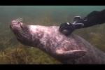 Clip: Hải cẩu sung sướng khi được thợ lặn mát-xa