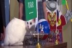 Mèo điếc tiên tri thần kỳ, dự đoán 3 trận World Cup đúng cả 3