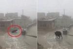 Clip: Bò trượt ngã dúi dụi trên dốc băng ở Trung Quốc