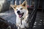 Cứu mạng bà lão 90 tuổi, chú chó Akita được khen thưởng