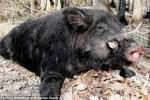 Chàng trai 15 tuổi và trận chiến kinh hồn với lợn thành tinh nặng 2,5 tạ