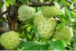 Công dụng chữa bệnh từ cây na có sẵn vườn nhà