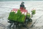 Ứng dụng máy cấy lúa phục vụ sản xuất giống tại An Giang