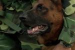 Những bật mí về quá trình huấn luyện chó nghiệp vụ