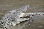 Video: Cá sấu ăn thịt đồng loại