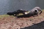 Video: Cá sấu 'huyết chiến' tranh giành lãnh thổ