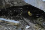 Clip: Kinh hãi phát hiện trăn 'khủng' dài 4m trong chuồng trâu