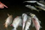Sau Hồ Tây, cá lại chết trắng ở hồ Linh Đàm