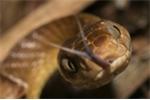 Loài rắn tinh vi, lén lút 'đi nhờ' máy bay quân sự để xâm chiếm lãnh thổ