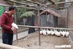 Đàn gà sao đột biến, lông trắng muốt đắt hàng trước Tết