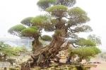 Ngắm đã mắt 'siêu cây phi lao cổ' của đại gia Hưng Yên