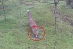 Gặp cáo trong rừng, 'hứng chí' ném chìa khóa xe gây chú ý và cái kết 'đắng'