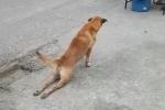 Phì cười clip chó giả tàn tật, lê lết trên đường phố Thái Lan
