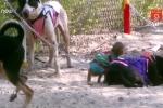 Khỉ cầm cương trên lưng chó thi chạy