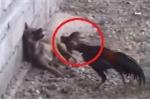 Clip: Gà hung hăng tấn công, dồn chó nép vào tường