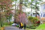 Ảnh: Đại học Đà Lạt đẹp mơ màng trong sắc hồng mai anh đào