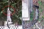 Clip: Trăn ngoạm đầu chồn, lôi lên cây để ăn thịt