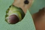 Clip sâu bướm béo múp ăn lá cây soàn soạt đốn tim dân mạng